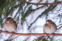 Two Sparrows Sits On A Branch ...
