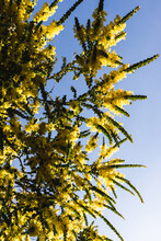 Native Australian Wattle Plant...