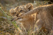 canvas print picture - Horizontal portrait of a naughty lion cub biting on its brother's tail with its teeth in Kruger Park in South Africa