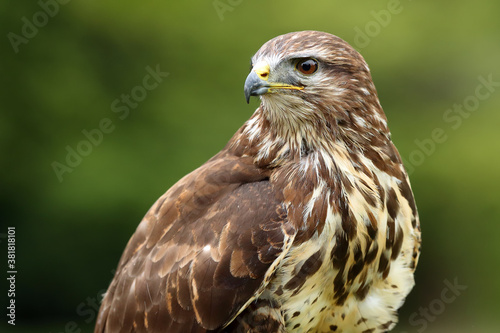 Photo The common buzzard (Buteo buteo), portrait with green background.