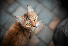 A Cute Brown Cat Sits On The Street And Looks At The Camera. A Fluffy Pet With Yellow Eyes Looks At The Camera. Top View, Flat Lay.