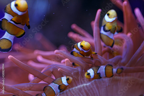 Fotomural clownfish with anemone in the community in aquarium