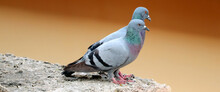 Couple Of Pigeon Sitting On A ...