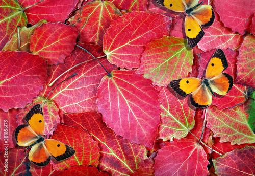 Fototapeta red autumn fallen leaves and red orange butterflies texture background. bright autumn background obraz