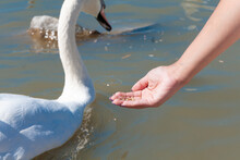 Swans, Ducks And Gulls Floatin...