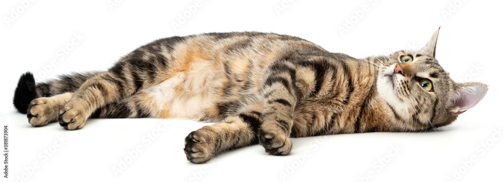 Lying cat tabby isolated on white background.