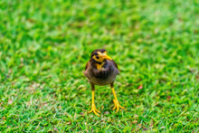 Myna Bird On The Lawn In The Park.