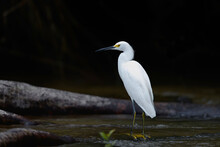 Snowy Egret, Egretta Thula, Hunting In The Water In Cano Negro Wildlife Refuse In Costa Rica