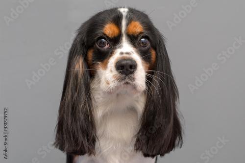 Fotografie, Obraz Cavalier King Charles Spaniel dog