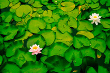 Water Lilies Floating In A Bea...