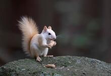 White Squirrel (leucistic Red ...