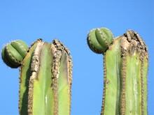 2 Cactus With Blue Sky
