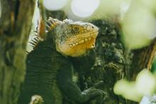 Closeup Shot Of A Green Iguana On A Tree