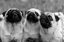 Pugs. Dogs Ask For Food From T...