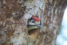 Young Woodpecker Looks Out Of ...