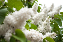 White Flowers On The Garden