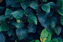 Leaves For Background. Fresh L...