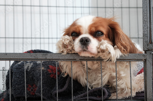Obraz na plátně King Charles Cavalier with her head between her paws in a crate