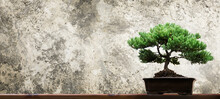 Bonsai Tree On Wood Table And Cement Background