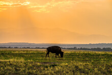 Buffalo Grazing At Sunset In R...