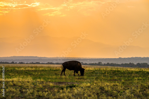Buffalo grazing at sunset in Rocky Mountain Arsenal National Wildlife Refuge Wallpaper Mural