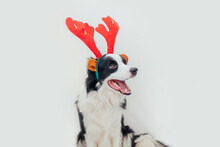 Funny Studio Portrait Of Cute Smiling Puppy Dog Border Collie Wearing Christmas Costume Red Deer Horns Hat Isolated On White Background. Preparation For Holiday. Happy Merry Christmas 2021 Concept.