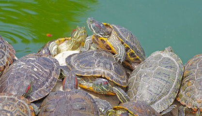 red-eared turtles basking in the sun