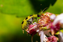 Diabrotica Undecimpunctata (southern Corn Rootworm) A.k.a. Spotted Cucumber Beetle Is An Agricultural Pest That Eats Roots, Bodies And Flowers Of Crops And Carries Wilt Disease Bacteria..