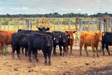 Grupo Vacas Marcadas, En El Ca...
