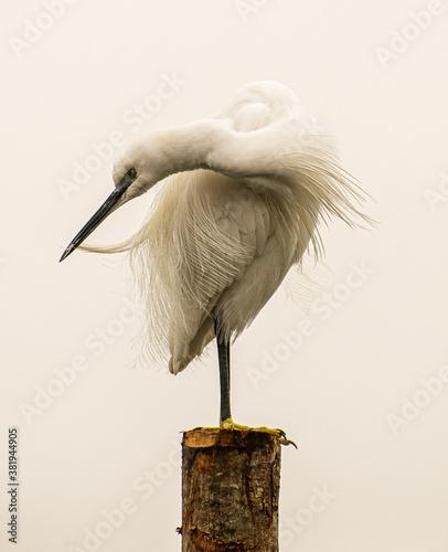 Photo Garza parada en un poste acomodandose el plumaje