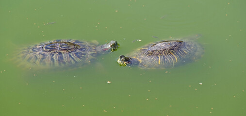 turtle swims in the muddy water of the lake
