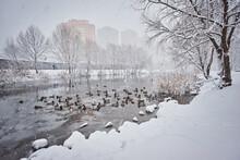 Mallard Ducks On The In The Ri...
