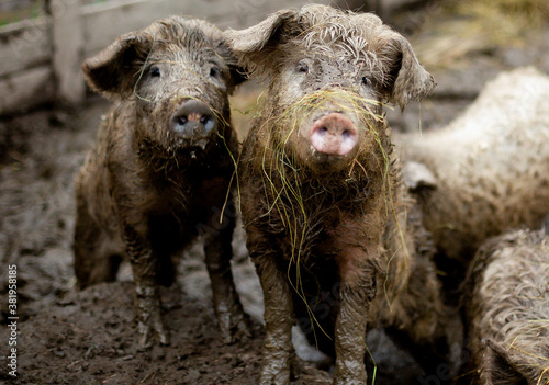 Cuadros en Lienzo pig with fur in the mud. farm