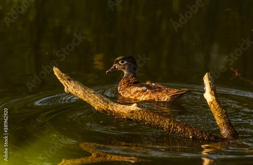 ptaki, mandarynka samiczka pływająca po stawie