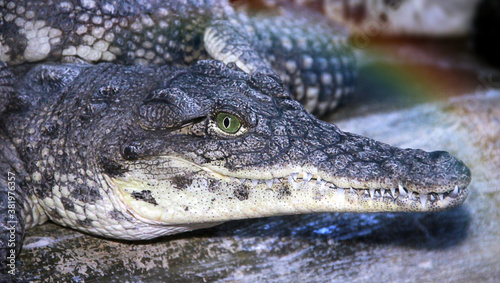 crocodile in the zoo Canvas Print