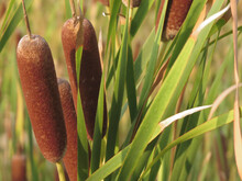 Closeup Of Cattails On A Blurred Background