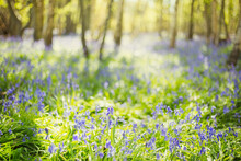 Bluebell Flowers Growing In Sunny Idyllic Woods