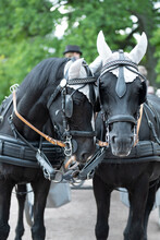 Two Black Horses For City Sigh...