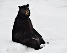 A Black Bear Takes A Break To Sit Down In The Snow - Canada
