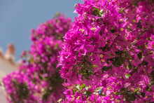 Pink Bougainvillea Shrub With ...