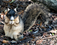 Sherman Fox Squirrel Stock Photo. Sherman Fox Squirrel Feeding In Its Surrounding And Environment With A  Background Leaves Displaying Body, Head, Eye, Ears, Nose, Paws, Bushy Tail. Fox Squirrel.