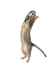 Tabby Cat Dancing On White Backdrop