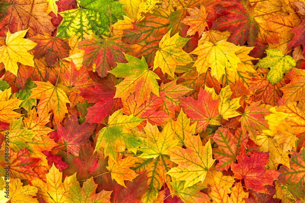 Fototapeta Yellow red orange autumn leaves