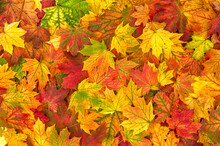 Yellow Red Orange Autumn Leaves