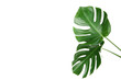Green tropical monstera leafs isolated on white background