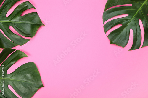 Green tropical monstera leafs on pink background