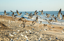 Flock Of Black Skimmers In Fli...