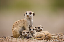 Meerkat With Pups, Namibia