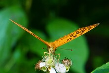Female Of Silver-washed Fritillary Butterfly (Argynnis Paphia) On A Flower