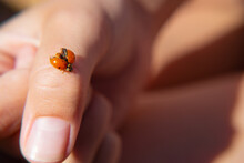 A Ladybug Sits On Its Arm And Spreads Its Wings, Basking In The Sun. Macro Of Insects